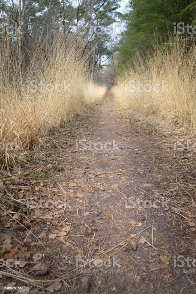 Golden grass growing beside the path way in pine forest stock photo