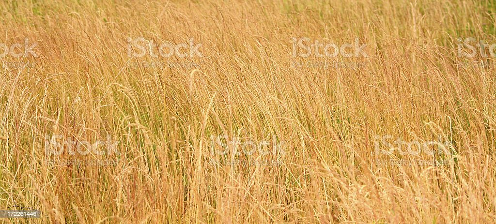 Golden grass royalty-free stock photo