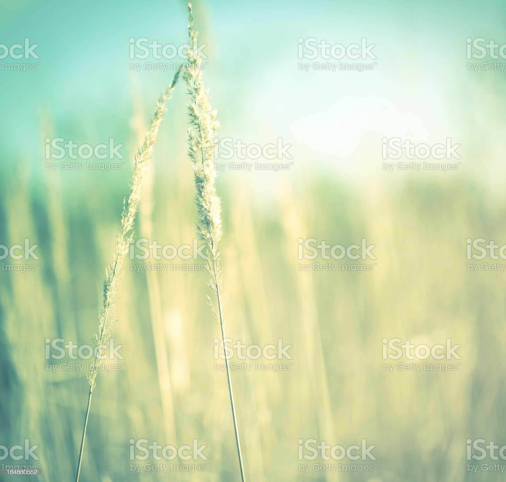 Golden grass royalty-free stock photo