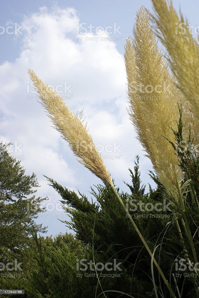 Golden Grasses of Summer royalty-free stock photo