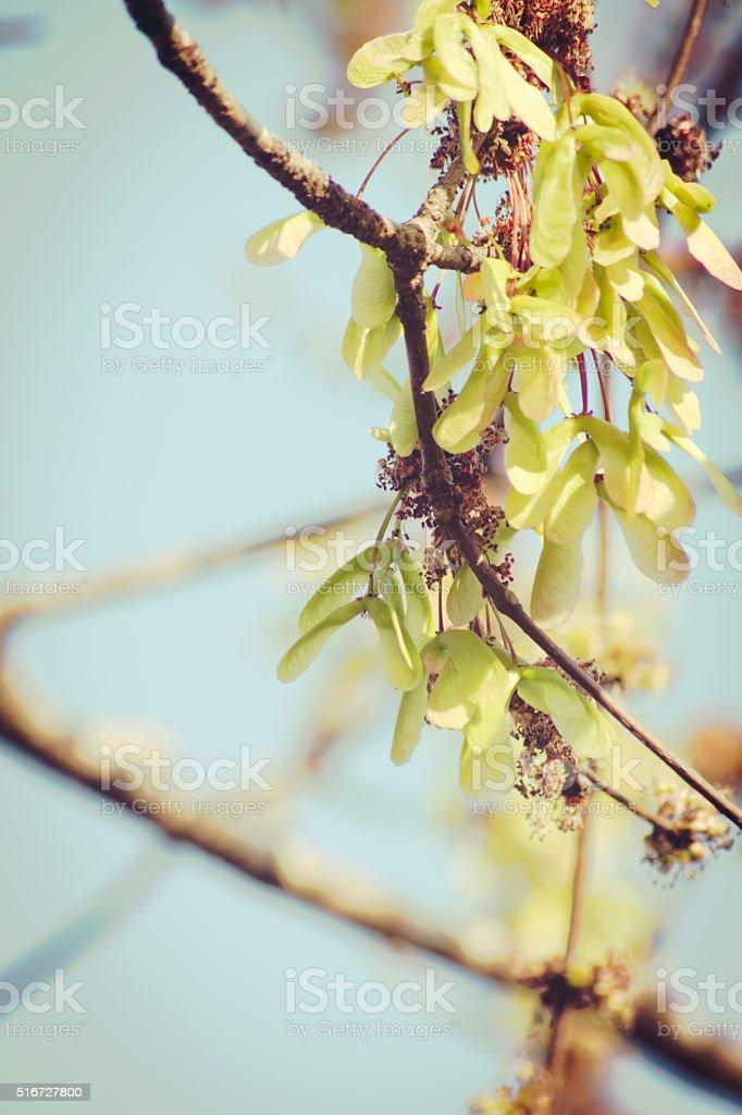 Golden Green Maple Key Seeds on Tree Vintage Blue Sky stock photo
