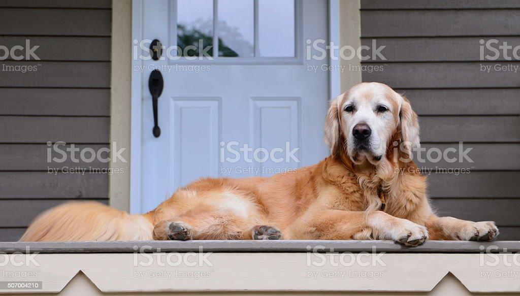 golden guarding the door stock photo