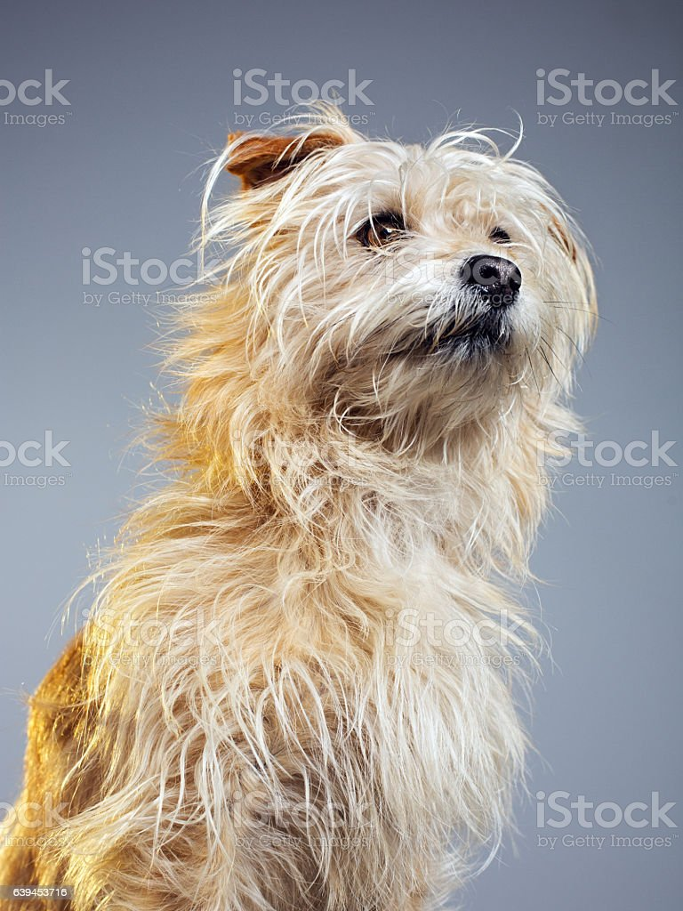 Golden hairy dog looking away stock photo