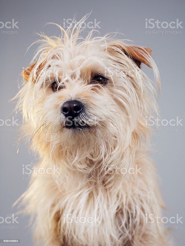 Golden hairy dog studio portrait stock photo