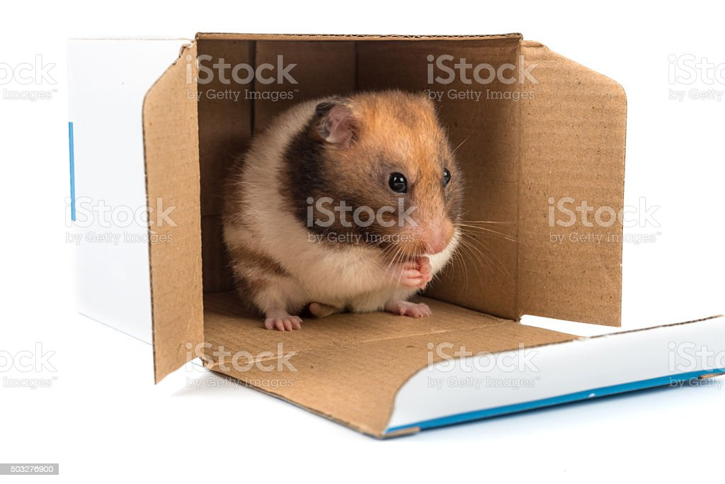 Golden hamster cleaning the fur while sitting in a box stock photo