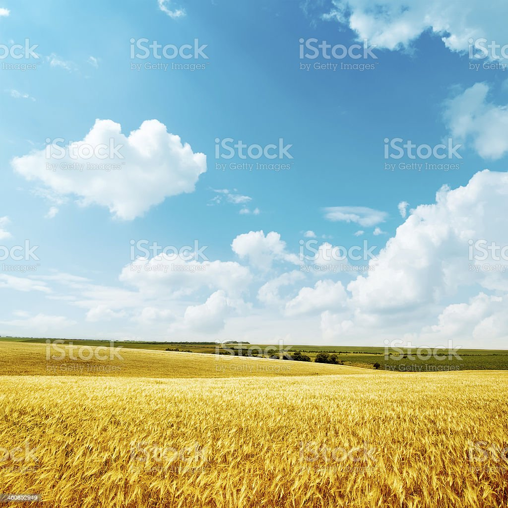 golden harvest and blue sky stock photo