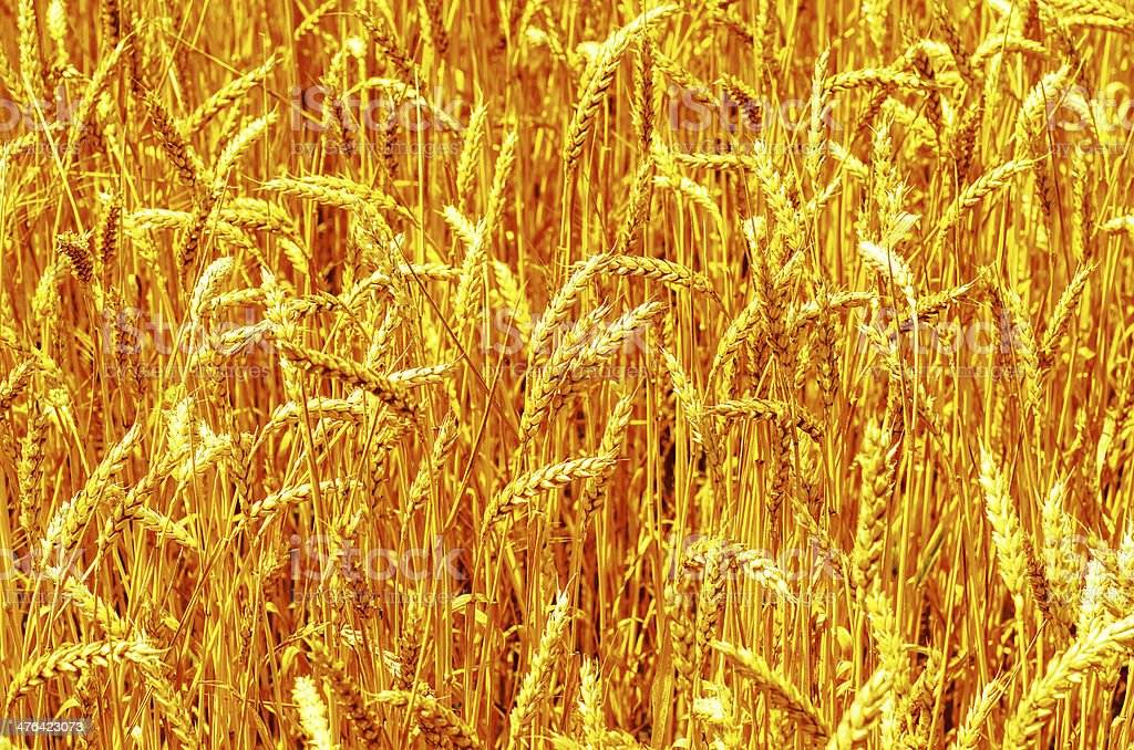 golden harvest as background royalty-free stock photo