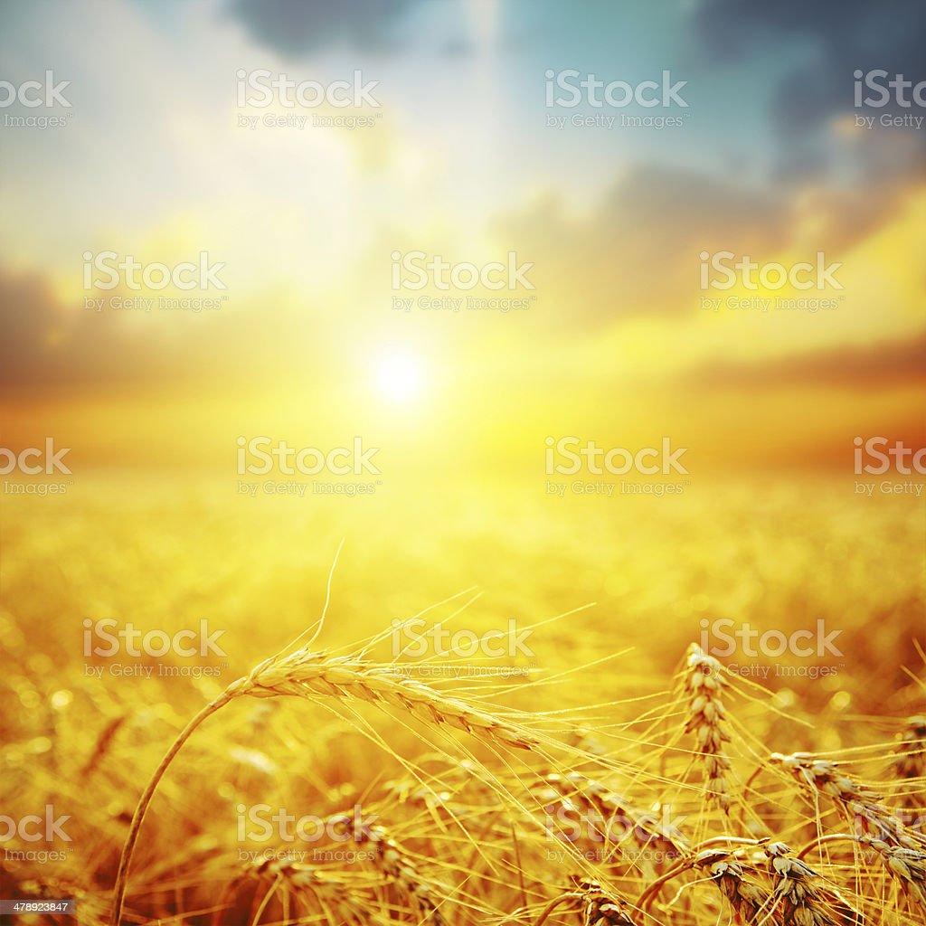 golden harvest in sunset stock photo