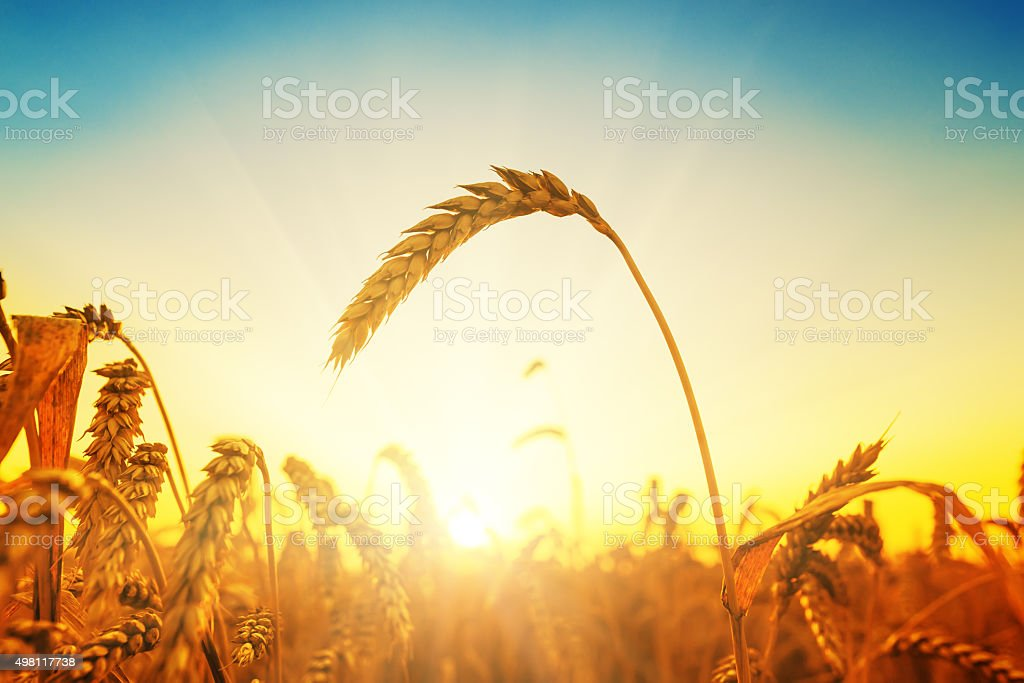golden harvest on field at sunset stock photo