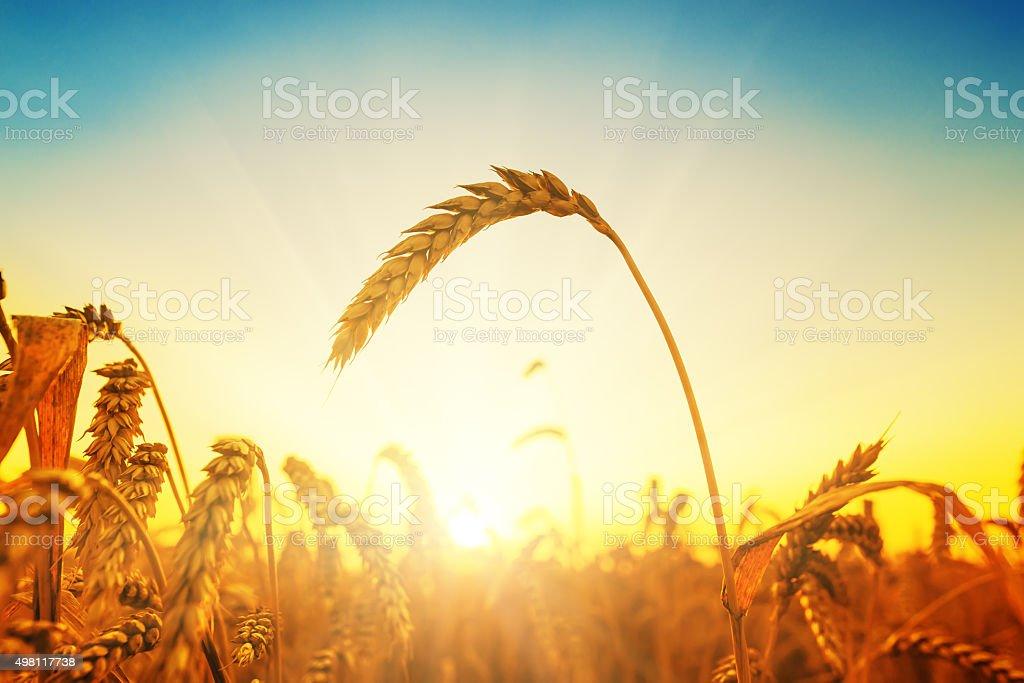 golden harvest on field at sunset stock photo