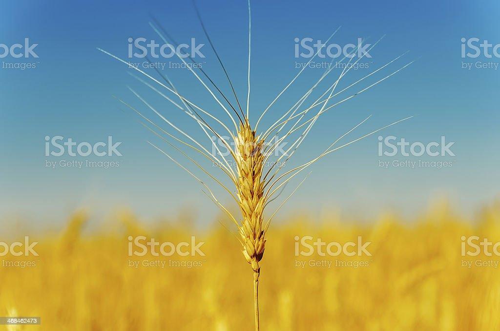 golden harvest under blue sky stock photo