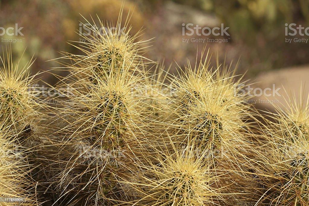 Golden Hedgehog Cactus stock photo