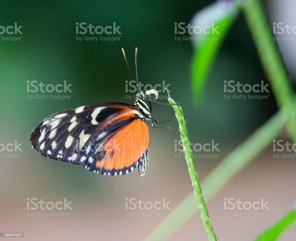Golden Helicon on Blade of Grass royalty-free stock photo