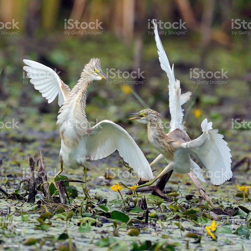 golden herons (ardeola ralloides) stock photo