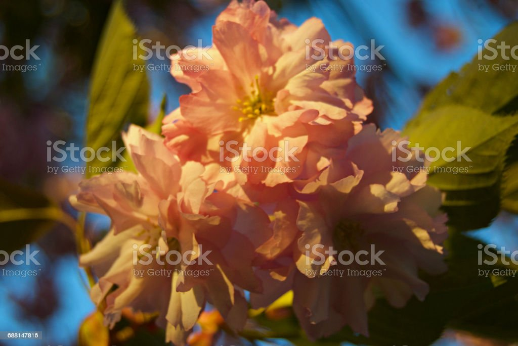 Golden Hour Apple Blossoms stock photo