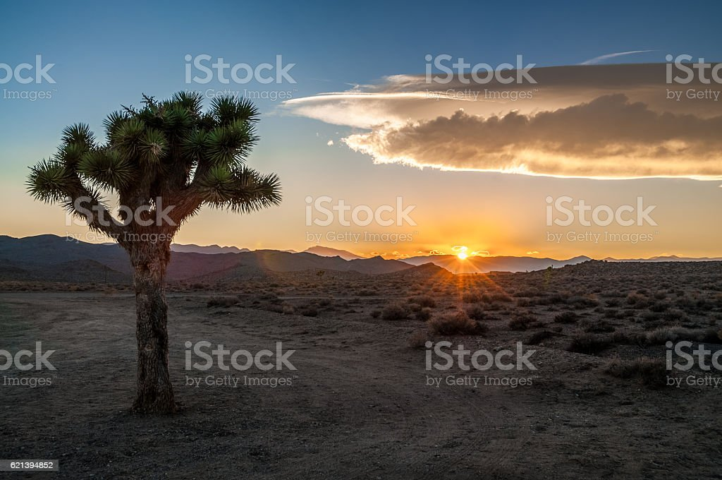 Golden hour joushua tree stock photo