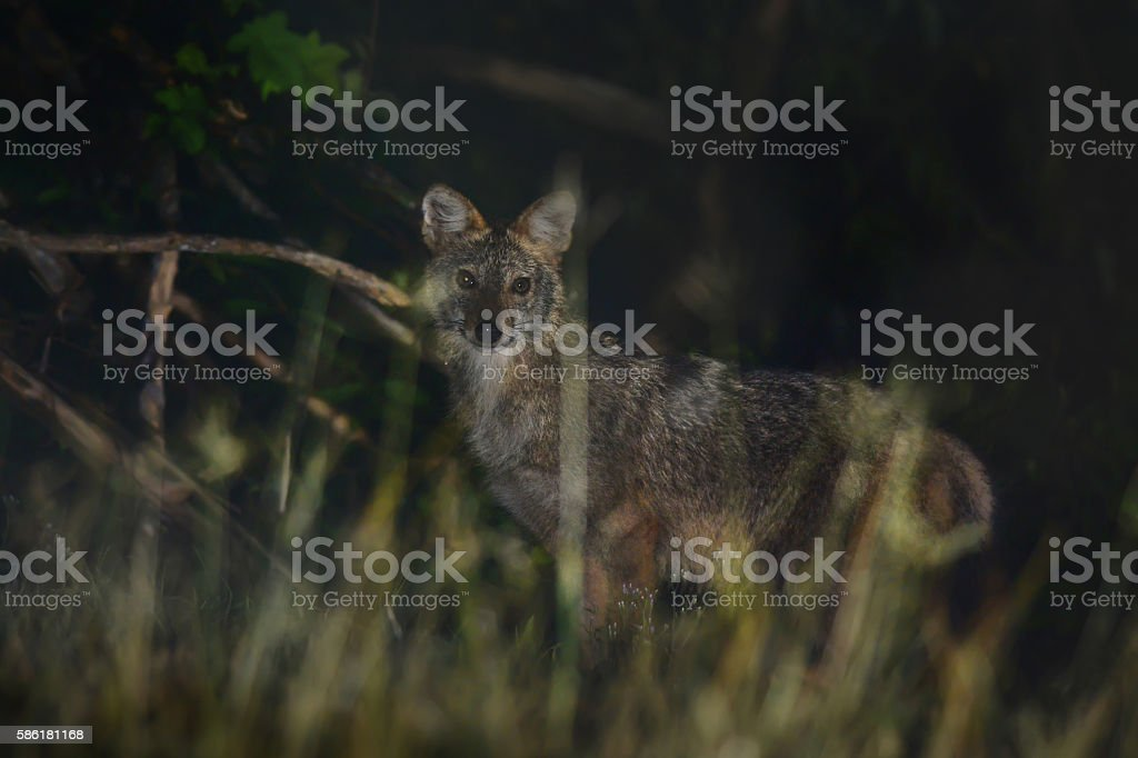 Golden jackal in forest as background stock photo