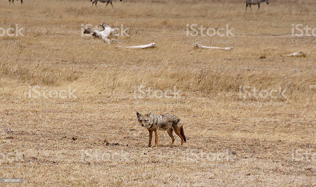 Golden Jackal in Ngorongoro Crater stock photo