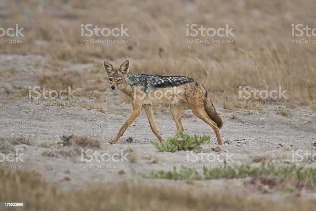 Golden Jackal in the Savannah royalty-free stock photo