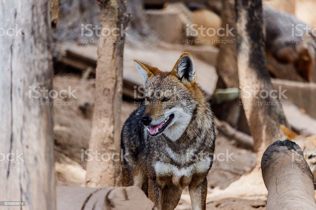 Golden Jackal in wildlife stock photo