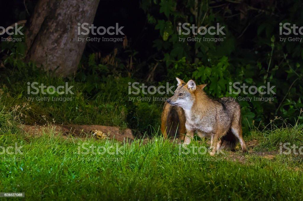Golden Jackal or fox at nigth stock photo