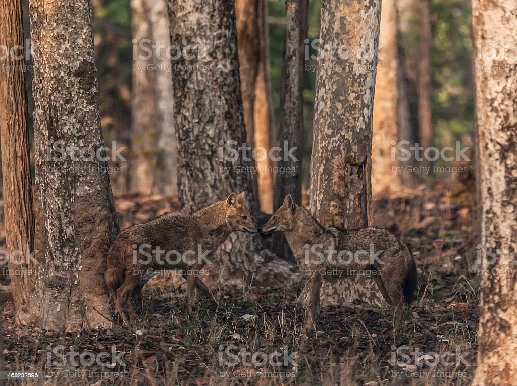 Golden Jackal pair, early morning, Pench National Park, India stock photo