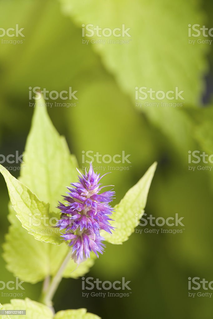 Golden jubilee anise hyssop royalty-free stock photo