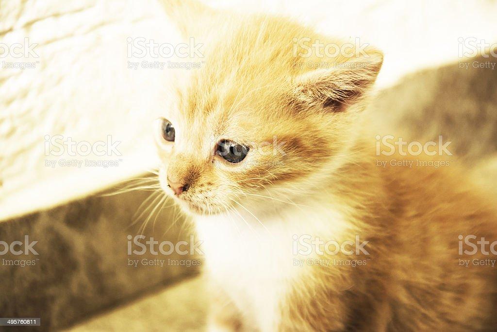 Golden kitten stock photo