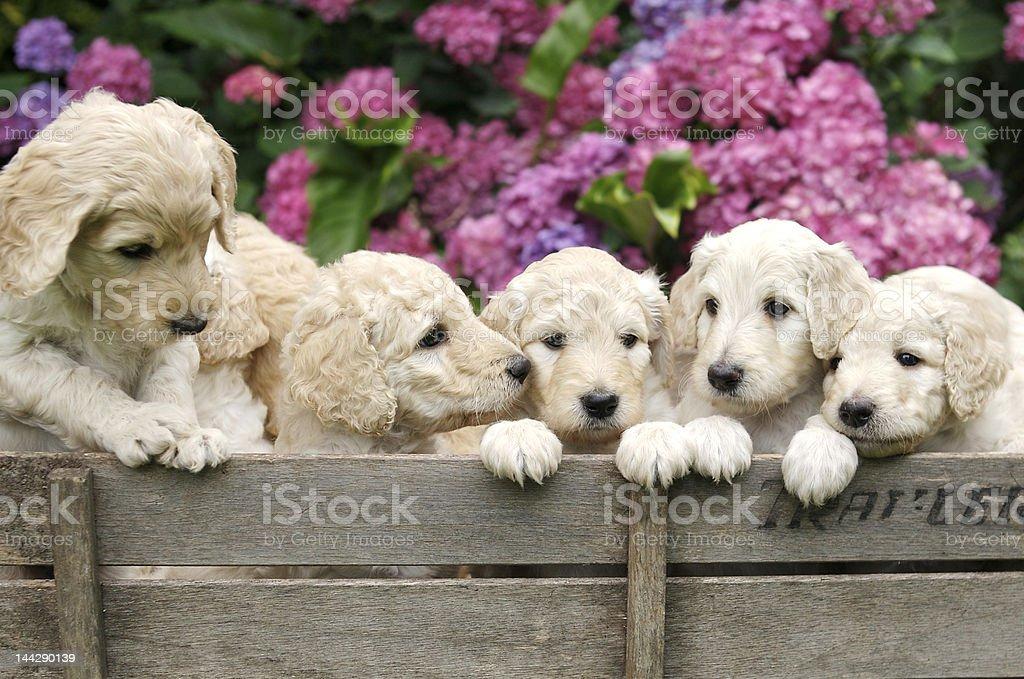 Golden Labradoodle Puppies stock photo