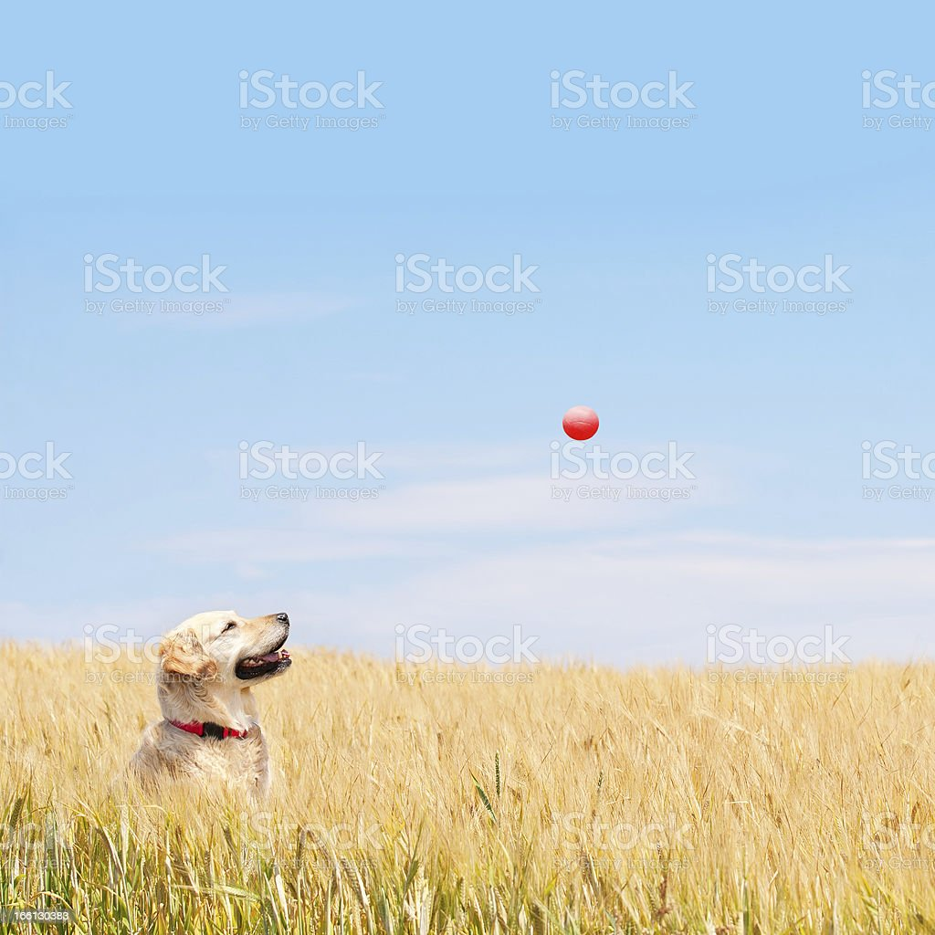 Golden Labrador catching red ball in wheat field royalty-free stock photo