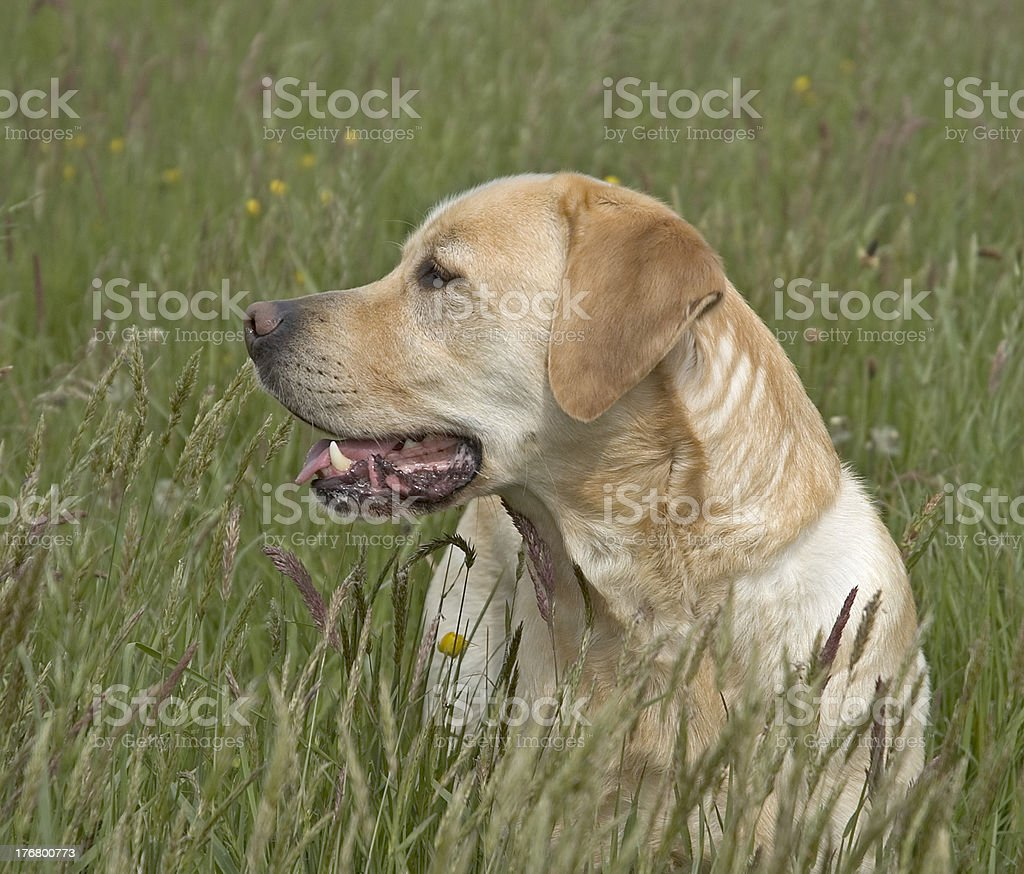 Golden Labrador royalty-free stock photo