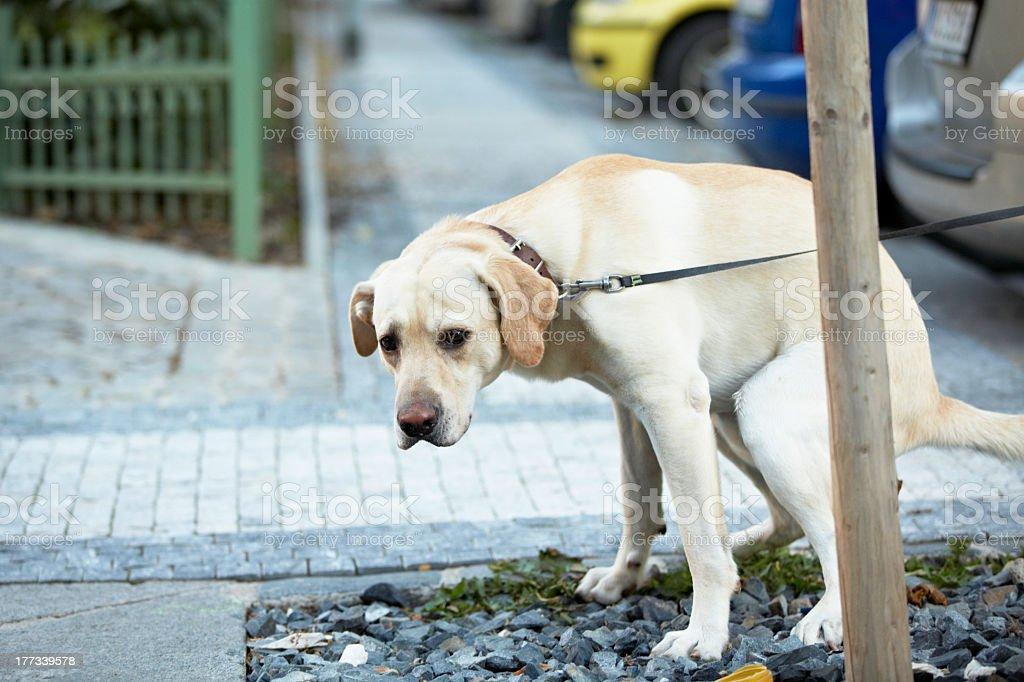 Golden Labrador pooping on a walk stock photo