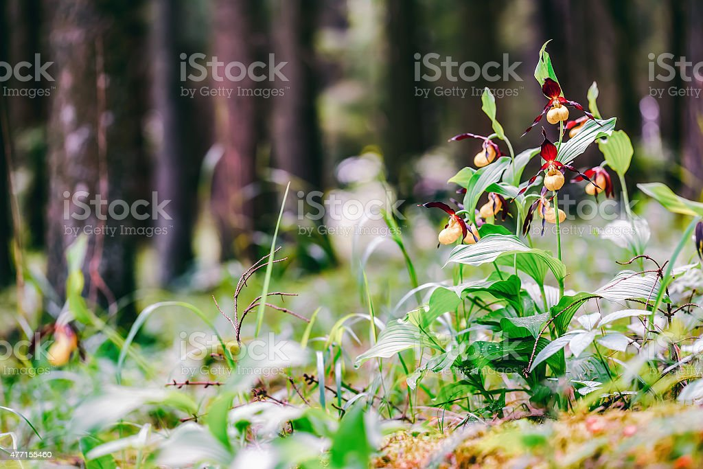 Golden Lady Slipper Orchid stock photo
