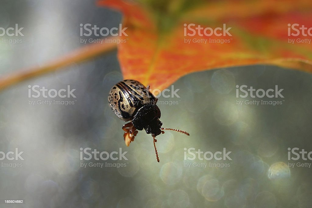 Golden ladybug on autumn leaf (Calligrapha multipunctata) royalty-free stock photo
