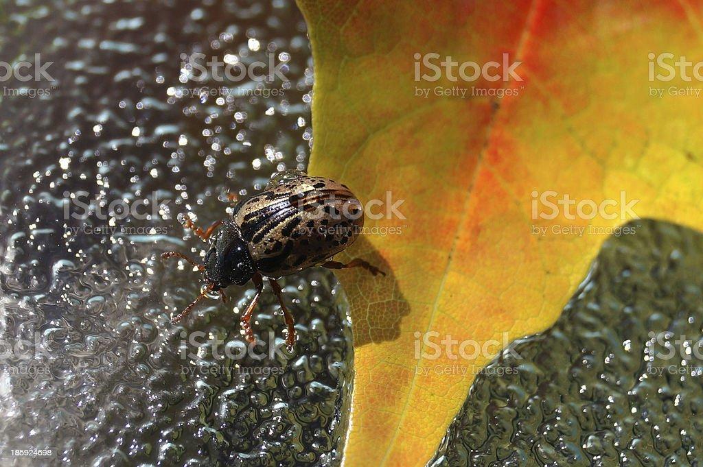 Golden ladybug on autumn leaf (Calligrapha multipunctata) royalty-free stock photo