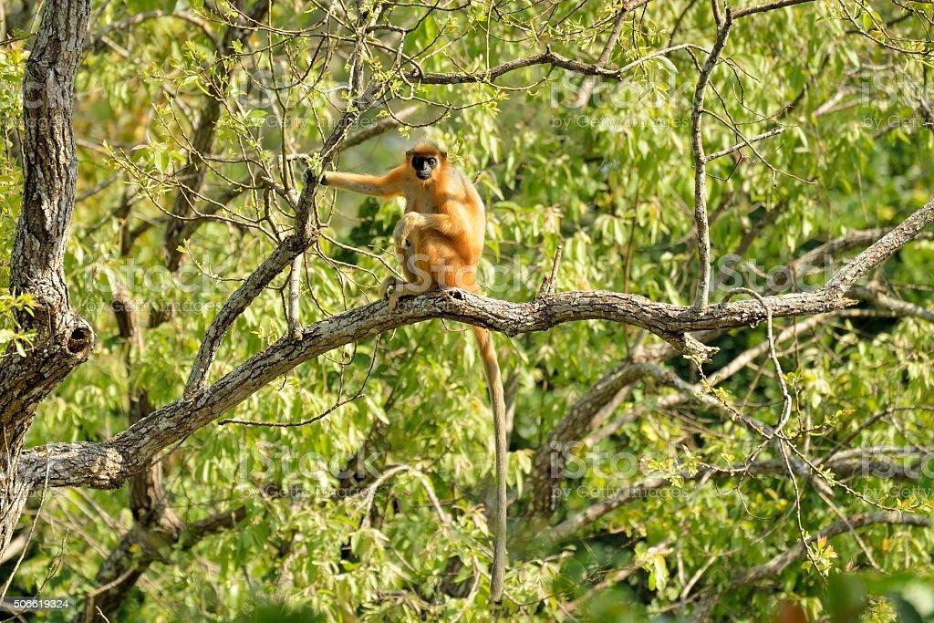 Golden Langur stock photo