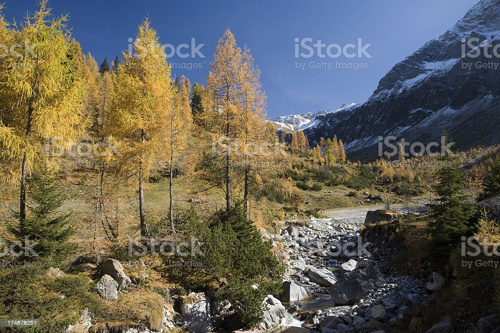 golden larch trees royalty-free stock photo