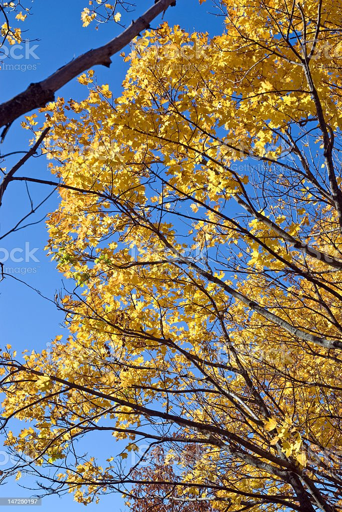 Golden Leaves Against a Vivid Blue Sky royalty-free stock photo
