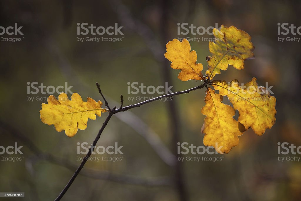 golden leaves of autumn royalty-free stock photo