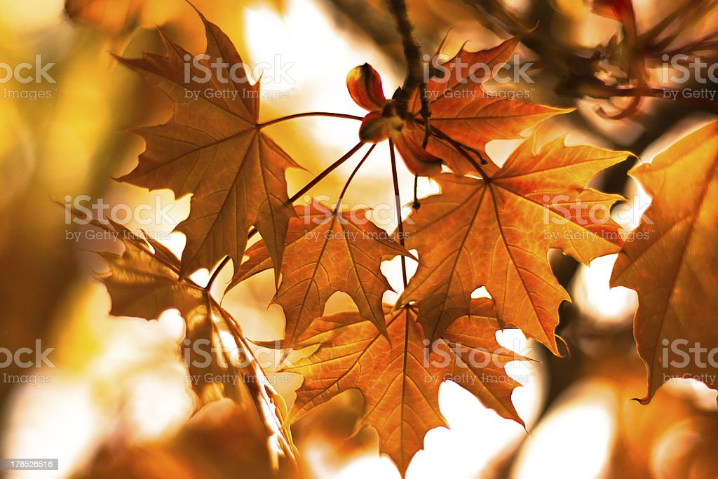 Golden Leaves royalty-free stock photo