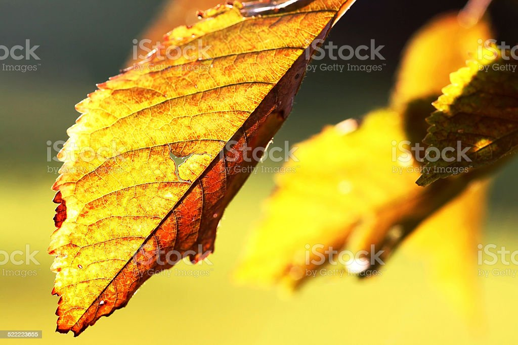 golden leaves stock photo