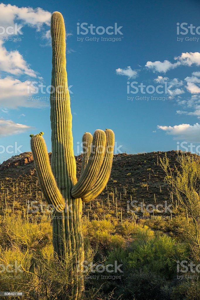 Golden Light on Saguaro Cactus stock photo