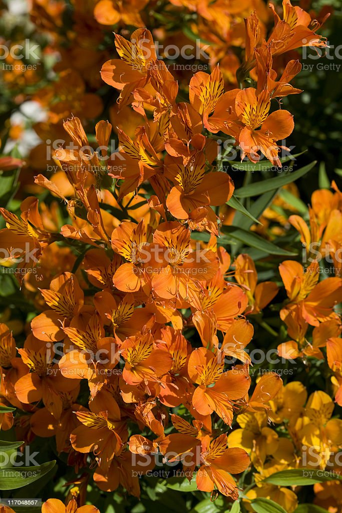 Golden lily-of-the-Incas stock photo