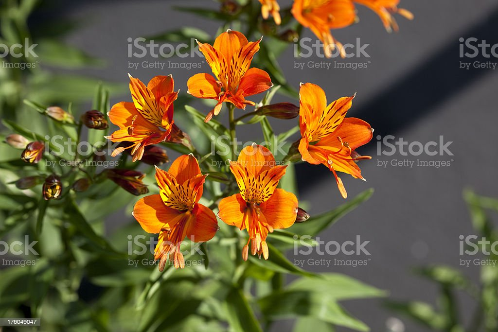 Golden lily-of-the-Incas (Alstroemeria aurea) stock photo