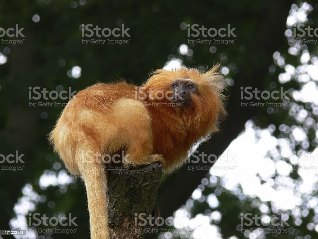 Golden Lion Tamarin Monkey royalty-free stock photo