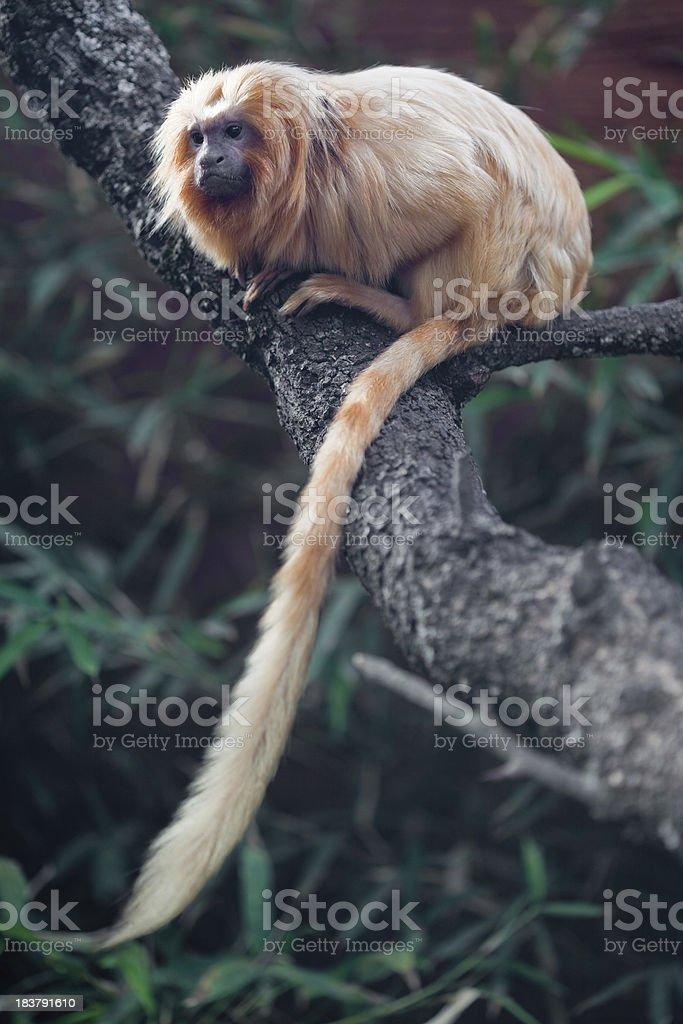 Golden Lion Tamarin stock photo