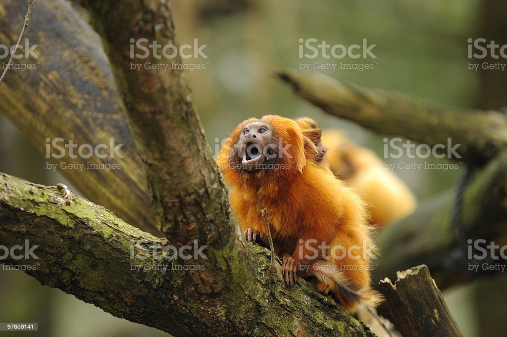 Golden lion tamarin royalty-free stock photo