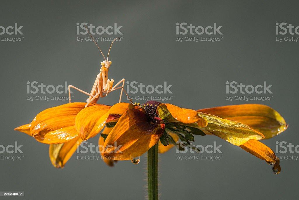Golden Mantis and Rudbeckia stock photo