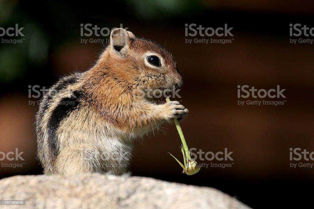 Golden Mantled Ground Squirrel stock photo