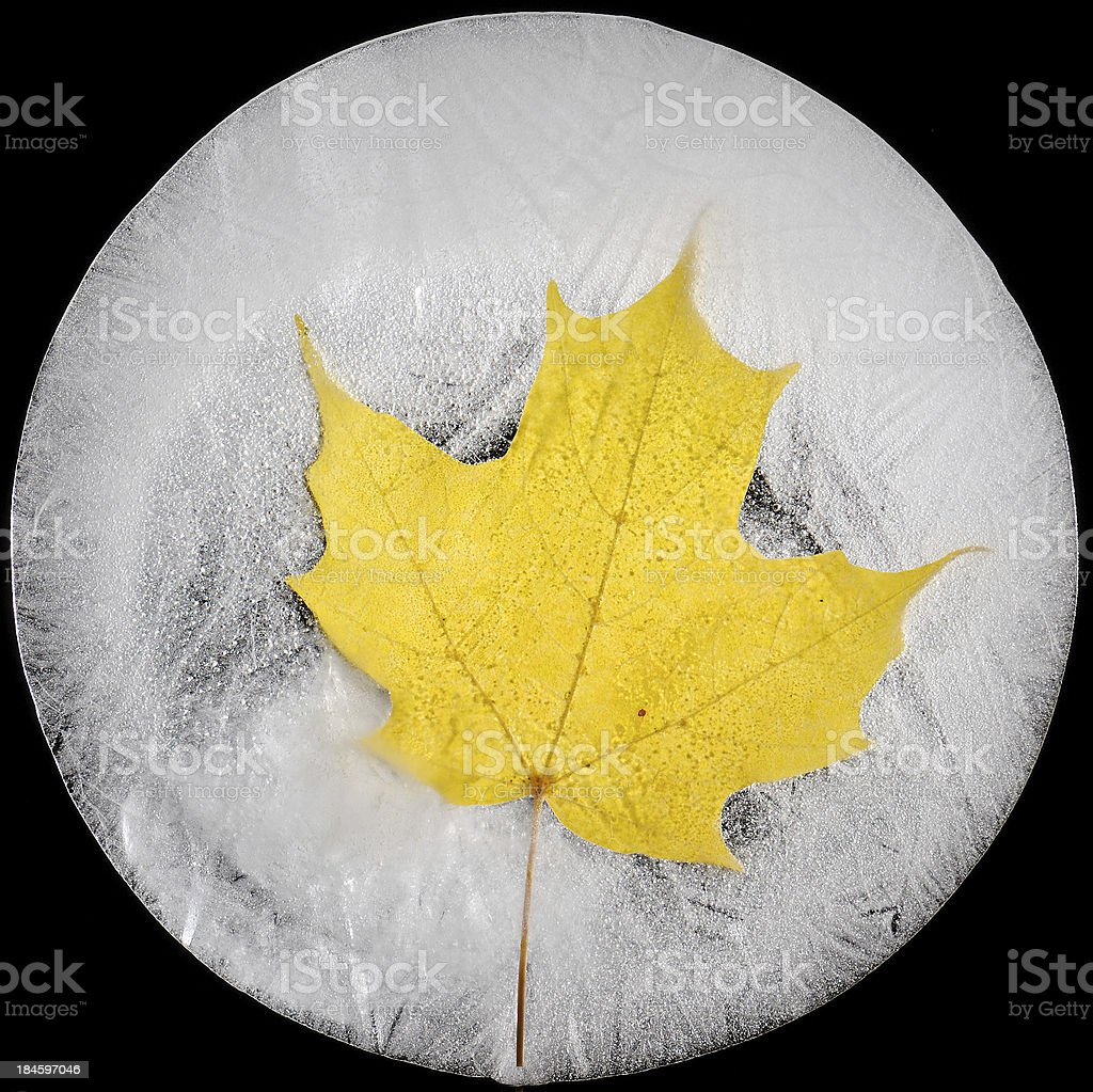 Golden Maple Leaf Frozen in Circular Block of Ice royalty-free stock photo